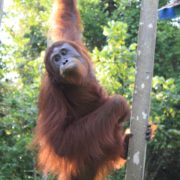 Tour-orangutan-at-Camp-leakey-1
